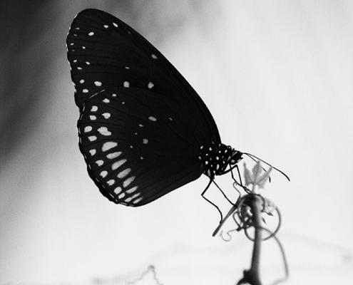 Schmetterling Euploea Core, Schwarzweißfoto