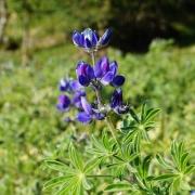 Blüten der Blauen Süßlupinen erblüht im Lupinengarten in Altrei